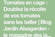 Culture des tomates