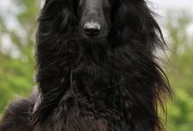 Trust Queen Afghan Hound
