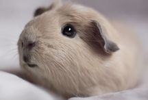 Guinea Pig Love / by Laura Eosco Wentworth