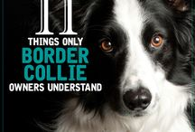Bordercollies