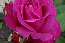 Różanka / Rośliny, które chciałabym na mojej różance.