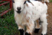 Baby goats #goat life