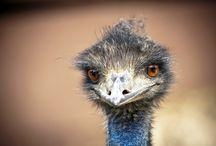ANIMAL • Emu