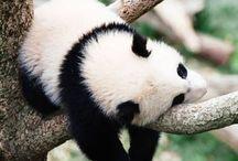 pandalarımmm