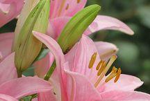 Lirios (lily)