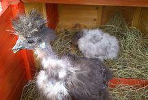 Selyem csirkék - 2015 / 3 felnőtt 2014 telén született. Csibék meg 2015 junius-ban