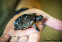 Baby turtle / Baby turtle pictures