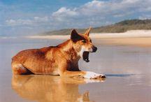 Dingo fitness