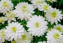 Saisonkalender Blumen: September