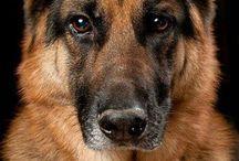 Dog Breed: German Shepherd