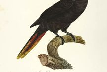 Fauna - Natural History engravings / A selection of our finest works on Natural History.
