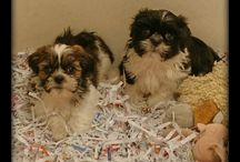 Puppies June 2015 / Puppies we have had during the month of June in the year 2015.