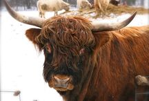 Shaggy Hippy Cows