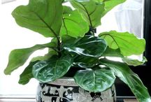Plants / Fig