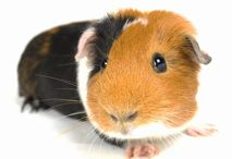 Guinea Pigs / by Pets