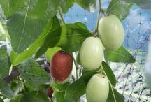 netradične ovocie