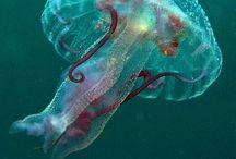Jellyfish  **kwallen**