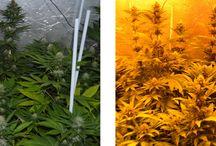 Cultivo de Giganteverde 100% Orgánico / Cultivo en interior con diferentes genéticas y abonos 100% Orgánico
