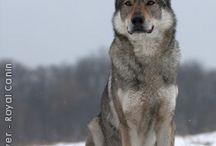 Wolf & Wolfdog
