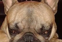 Frenchbulldog / Vilmos