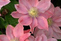 Flower WL Clematis