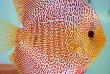 Discus / Discusfish