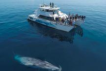 Whales of the Hauraki Gulf Marine Park