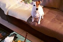 my jack russel