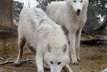 animals | wolf