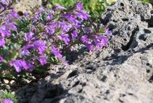 Lengeblomstrende planter