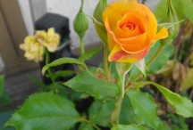 Die Gartenfreunde-Pirna / Die Gartenfreunde-Pirna ist ein privates Projekt, mit dem wir alle Gartenfreunde und Naturliebhaber ansprechen möchten, die unser Hobby teilen.