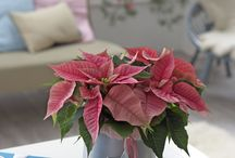 Gift Giving with Poinsettias