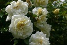 Roses for Pakiri