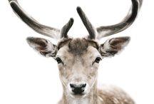 ID :: Deer - Cerf
