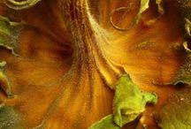 Güebakan- sunflower