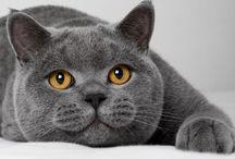 Razze / Razze feline: standard, storia, carattere