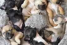 French Bulldog Lover ❤