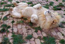 Lions / by Katrina Lum