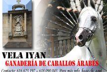 Ganaderías de caballos árabes