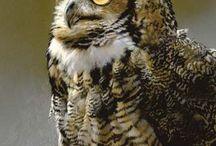Совы, l'hibou, owls