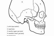 Human biology / Anatomy