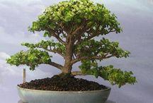 Bonsai Tree Collection