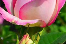 Rózsa-Roses