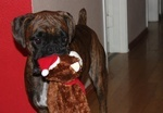 The Boxer my favorite dog breed / Boxer dogs / by Andrea Cagle
