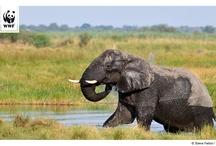 KAZA - Jobmaschine Elefanten #DialogWWF