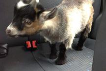 Mini goat