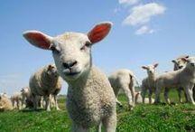 wypas owiec / pasja