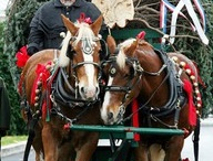 Horses / Pictures of Horses that depict a snowy, Christmas look.