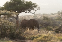 Elephants of Laikipia