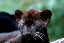 Jaguar & schwarzer Panther